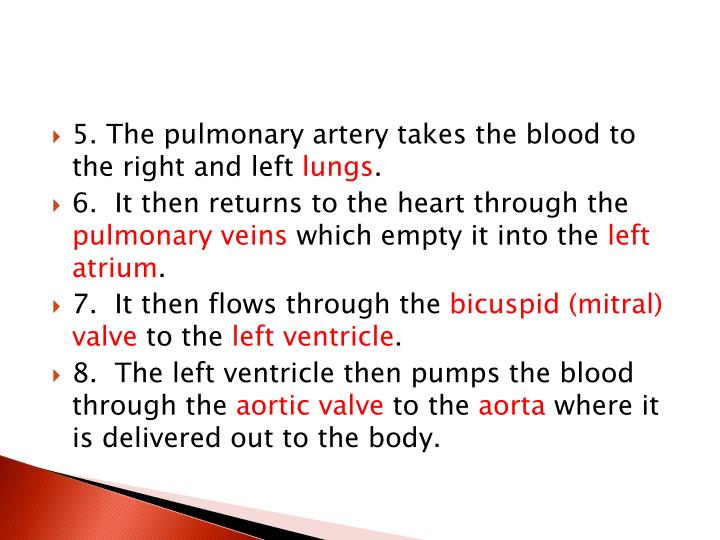 5. The pulmonary artery takes the blood to the right and left