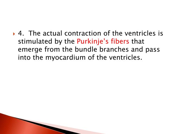 4.  The actual contraction of the ventricles is stimulated by the