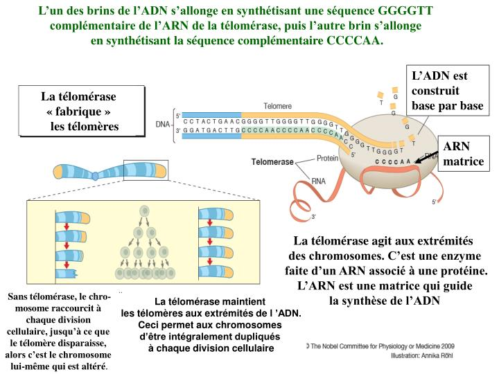 L'un des brins de l'ADN s'allonge en synthétisant une séquence GGGGTT