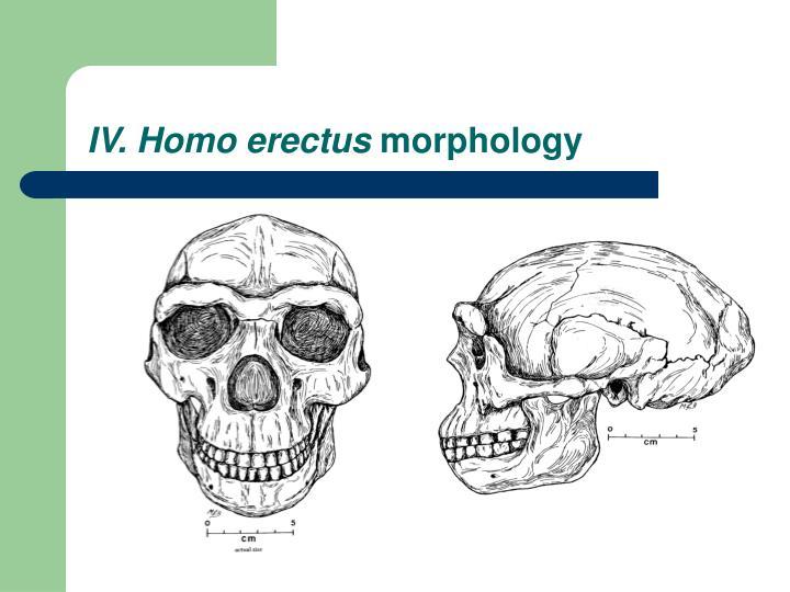 IV. Homo erectus