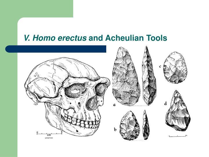 V. Homo erectus