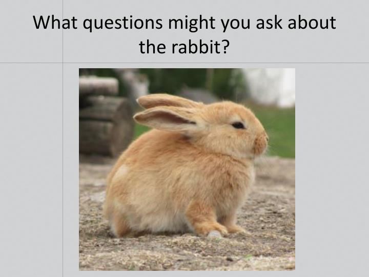 What questions might you ask about the rabbit?