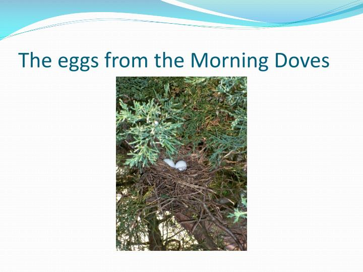The eggs from the morning doves