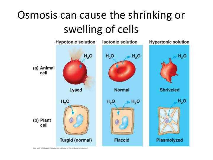 Osmosis can cause the shrinking or swelling of cells
