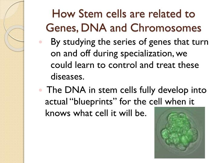 How Stem cells are related to Genes, DNA and Chromosomes