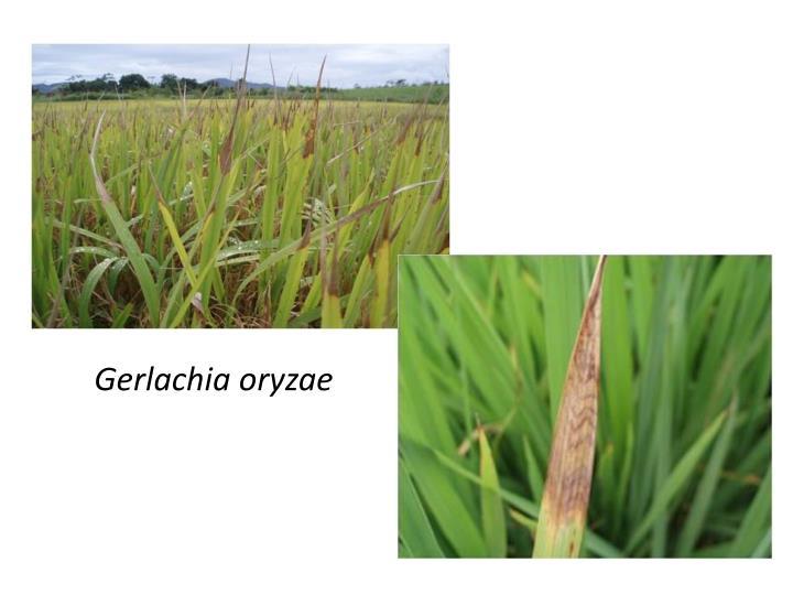 Gerlachia