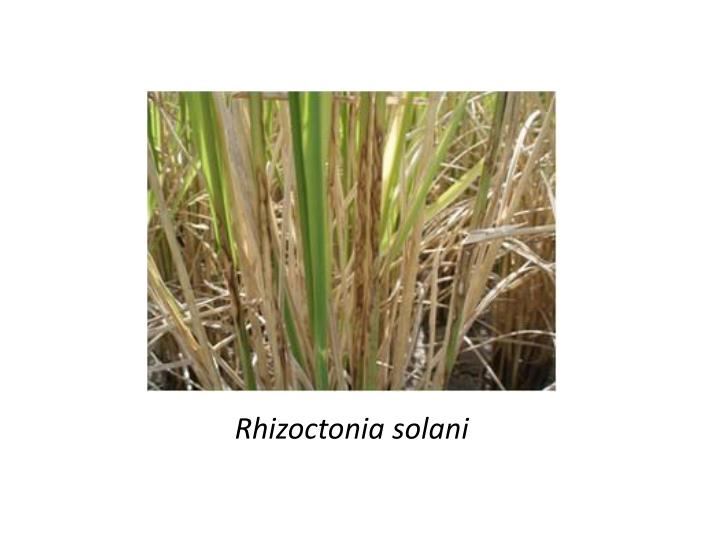 Rhizoctonia