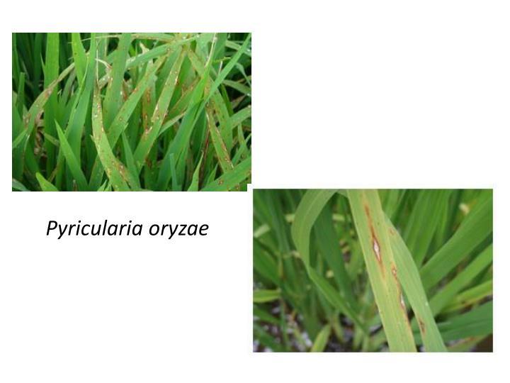 Pyricularia