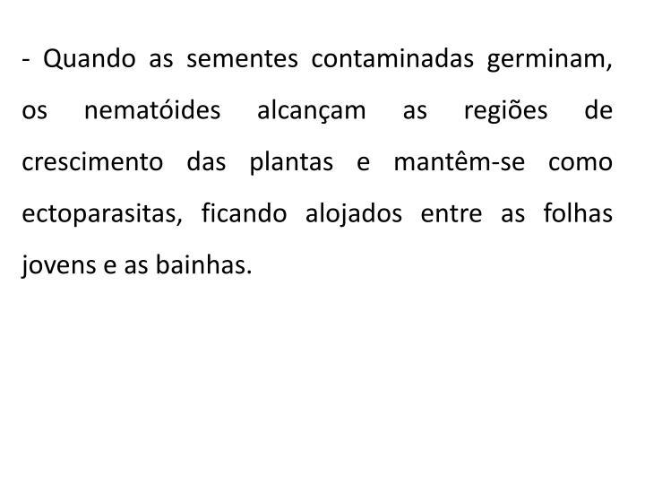 - Quando as sementes contaminadas germinam, os nematóides alcançam as regiões de crescimento das plantas e mantêm-se como ectoparasitas, ficando alojados entre as folhas jovens e as bainhas.