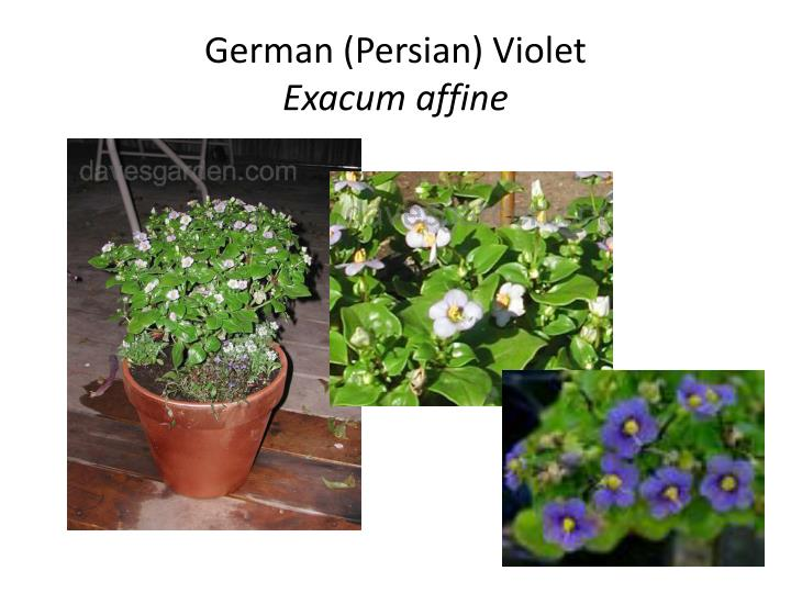 German (Persian) Violet