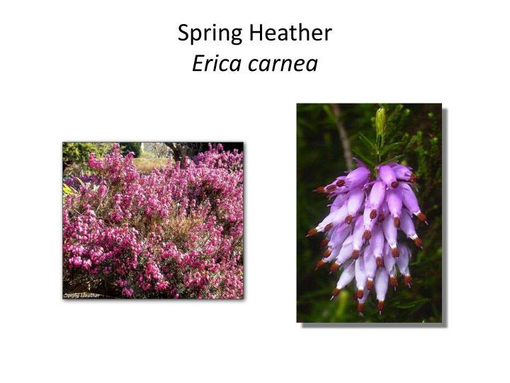 Spring Heather