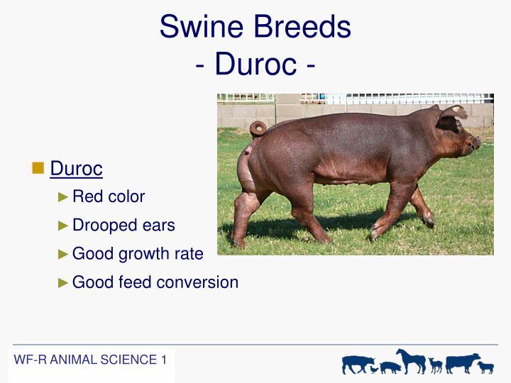 Swine Breeds