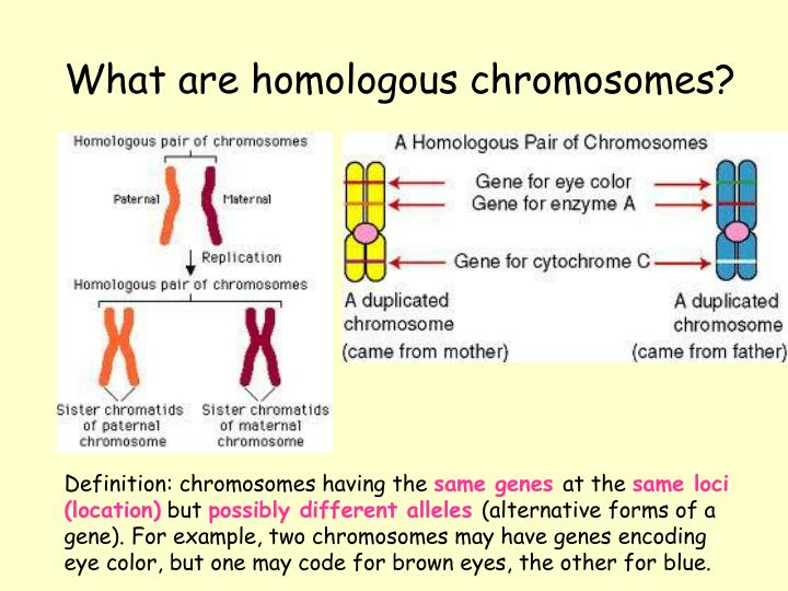 What are homologous chromosomes?