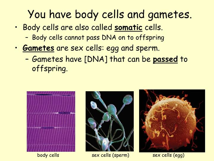 sex cells (egg)
