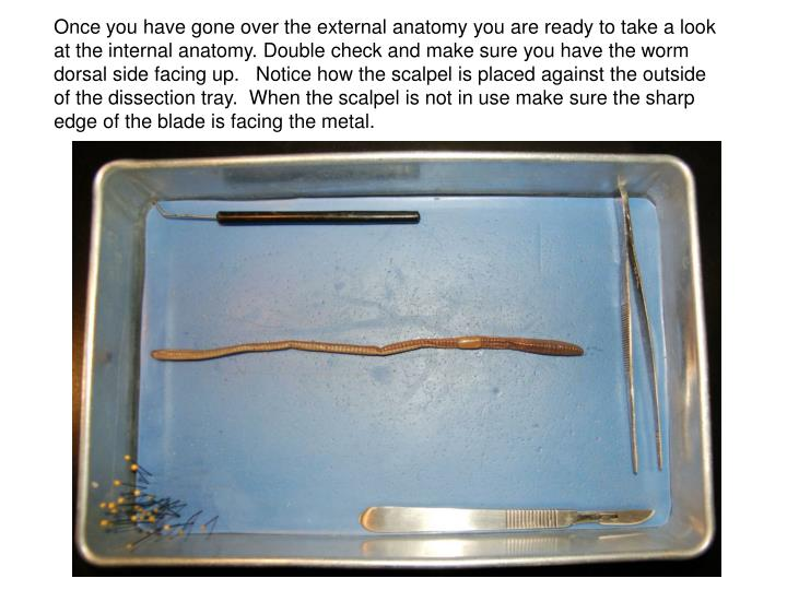 Once you have gone over the external anatomy you are ready to take a look at the internal anatomy. Double check and make sure you have the worm dorsal side facing up.   Notice how the scalpel is placed against the outside of the dissection tray.  When the scalpel is not in use make sure the sharp edge of the blade is facing the metal.