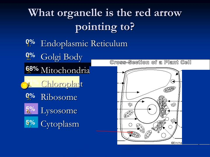 What organelle is the red arrow pointing to?