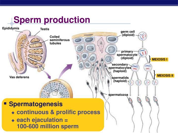 Sperm production