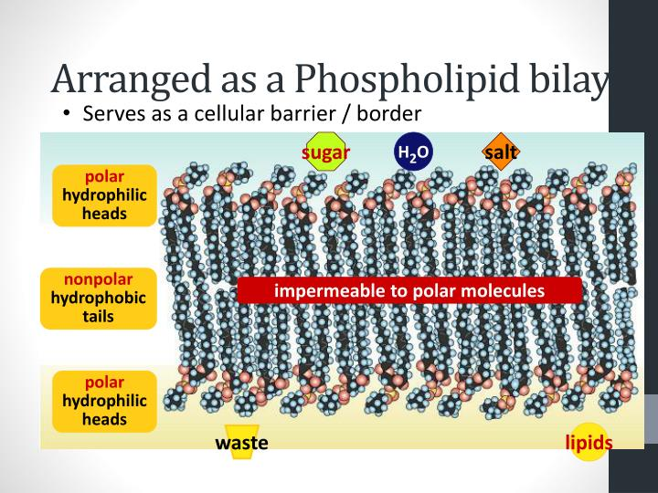 Arranged as a Phospholipid bilayer
