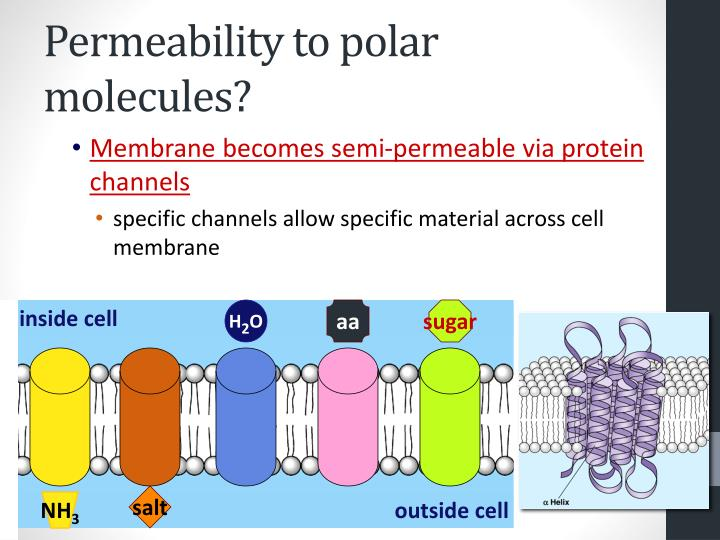 Permeability to polar molecules?