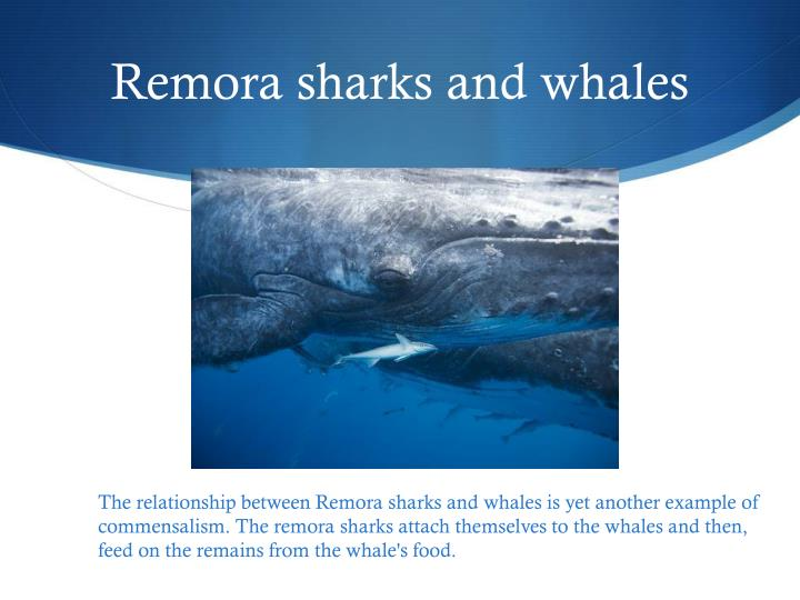 whale shark and remora commensalism relationship