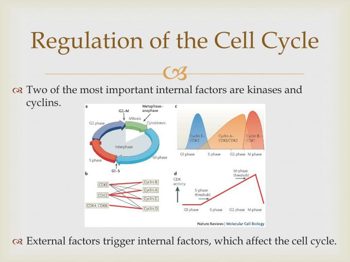 Regulation of the Cell Cycle