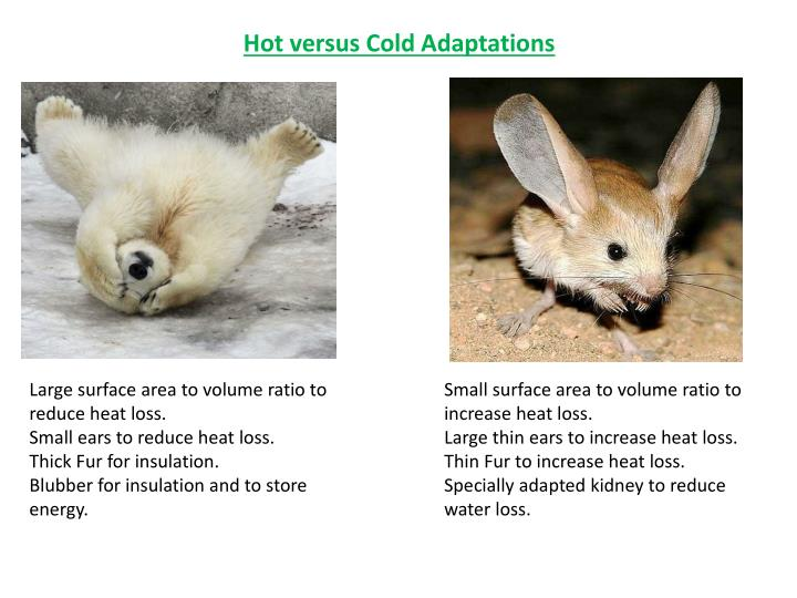 Hot versus Cold Adaptations