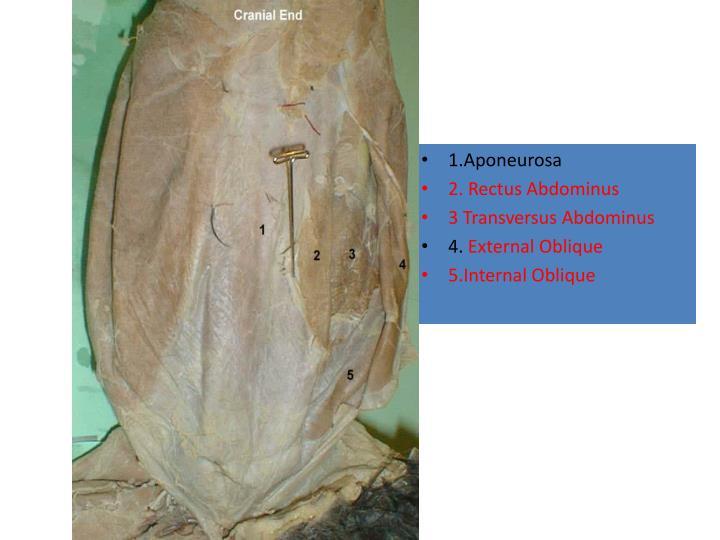1.Aponeurosa