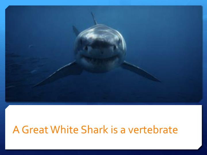 A Great White Shark is a vertebrate