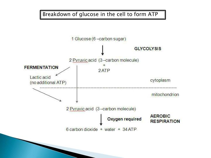 Breakdown of glucose in the cell to form ATP