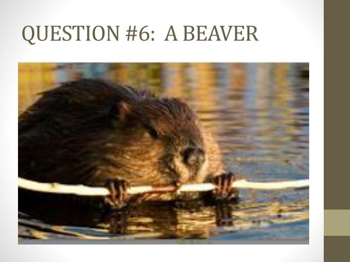 QUESTION #6:  A BEAVER