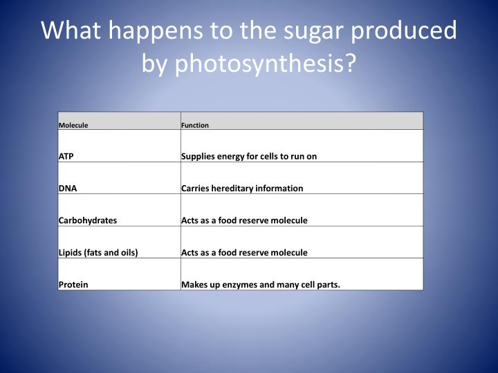 What happens to the sugar produced by photosynthesis?