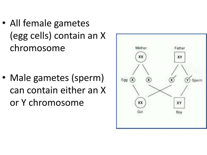 All female gametes (egg cells) contain an X chromosome