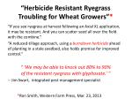 herbicide resistant ryegrass troubling for wheat g rowers
