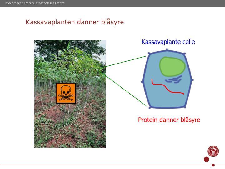 Kassavaplanten danner blåsyre