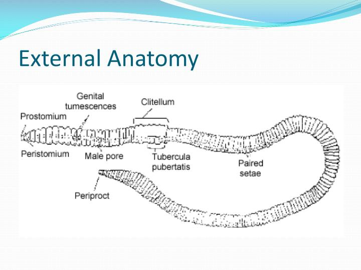External Anatomy