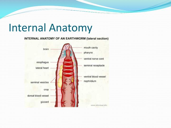 Internal Anatomy