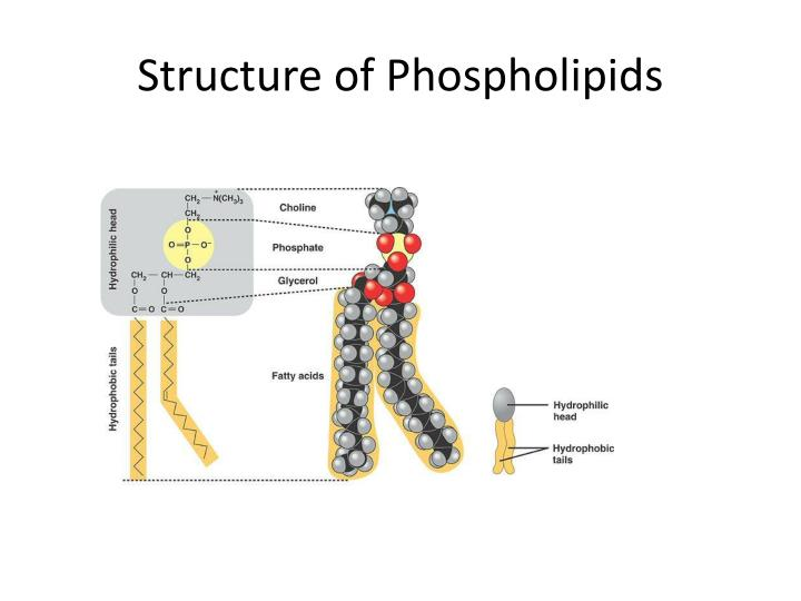 Structure of Phospholipids