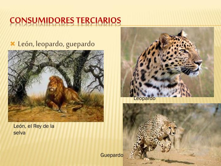 León, leopardo, guepardo