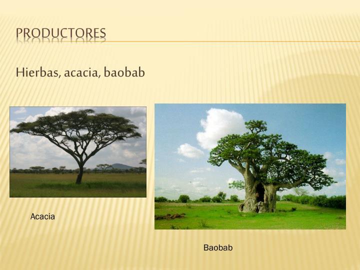 Hierbas, acacia, baobab