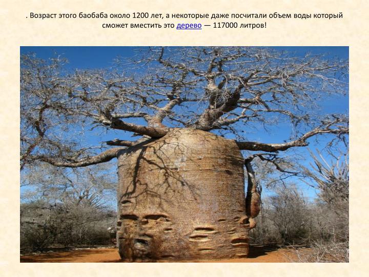 . Возраст этого баобаба около 1200 лет, а некоторые даже посчитали объем воды который сможет вместить это
