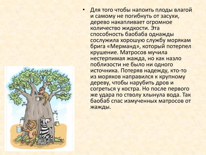 Для того чтобы напоить плоды влагой и самому не погибнуть от засухи, дерево накапливает огромное количество жидкости. Эта способность баобаба однажды сослужила хорошую службу морякам брига «
