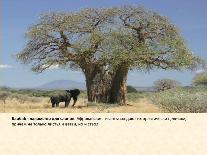 Баобаб - лакомство для слонов.