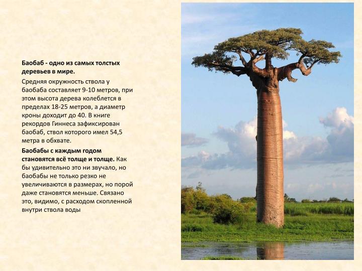 Баобаб - одно из самых толстых деревьев в мире.