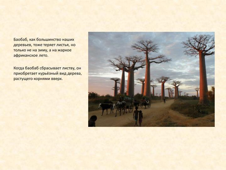 Баобаб, как большинство наших деревьев, тоже теряет листья, но только не на зиму, а на жаркое африканское лето.