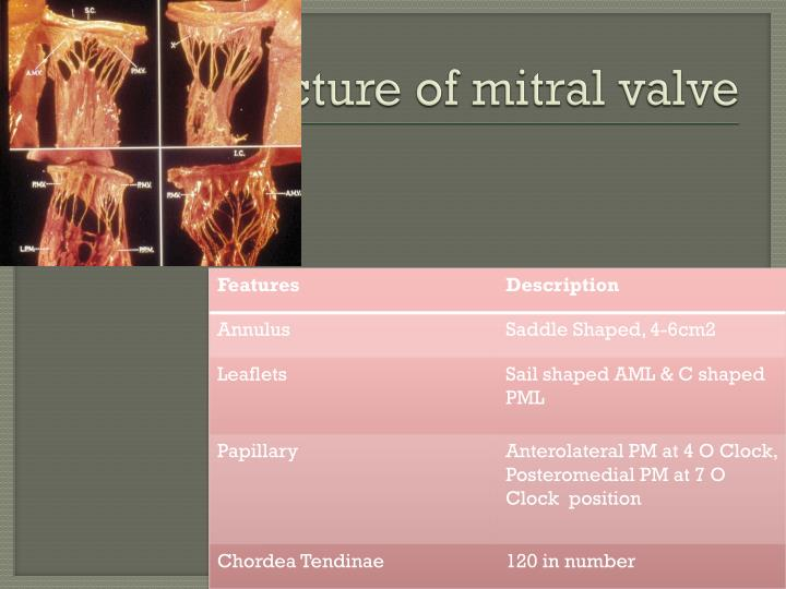 Structure of mitral valve