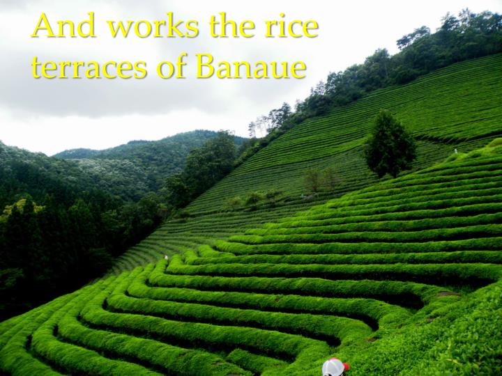 And works the rice terraces of