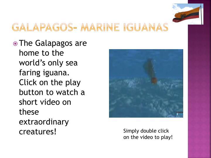 Galapagos- Marine iguanas