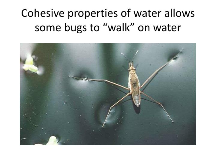 "Cohesive properties of water allows some bugs to ""walk"" on water"