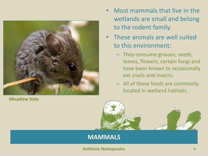 Most mammals that live in the wetlands are small and belong to the rodent family.