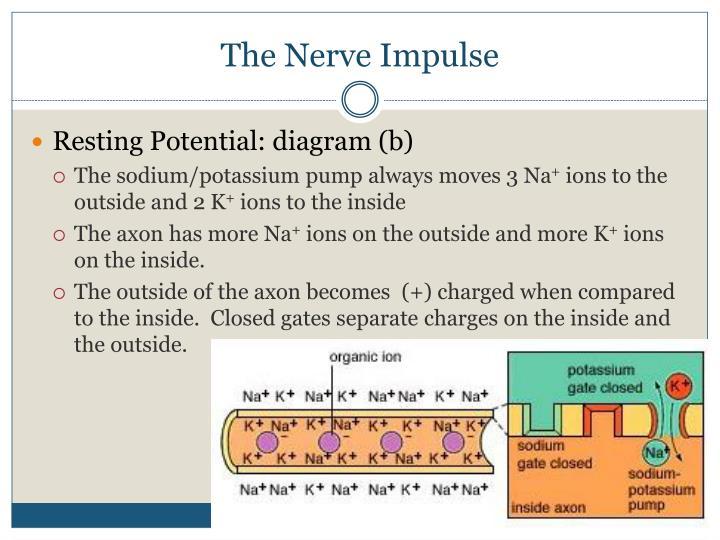 The Nerve Impulse